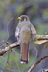 Elegant Trogon (Alan Gutsell) Tags: birds canon wildlife elegant maderacanyon trogon naturephoto eleganttrogon arizonabirds southwesternbirds alangutsell