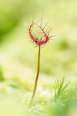 Drosera binata (Laurent Moulin photographie) Tags: drosera binata feuille seule v carnivore carnivorous plante plant tourbière