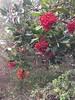 Christmas Berry (Talley1144) Tags: ebrp wildcatcanyonregionalpark rainy christmasberry toyon