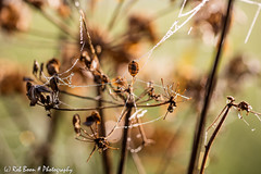 20160927_7114_Waterdruppel (Rob_Boon) Tags: macro mechelen mist plant waterdruppel robboon