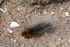 Garden Tiger Moth Caterpillar (Roy Lowry) Tags: gardentigermoth hilbreisland caterpillar arctiacaja