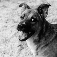 Kiki17Dec1600034-Edit.jpg (fredstrobel) Tags: dogs pawsatanta phototype atlanta blackandwhite usa animals ga pets places pawsdogs decatur georgia unitedstates us