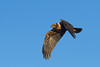 Busard des roseaux - Circus aeruginosus - Western Marsh Harrier (Alain-46) Tags: busarddesroseaux circusaeruginosus westernmarshharrier accipitriformes accipitridés specanimal coth naturethroughthelens sunrays5 coth5 distinguishedbirds