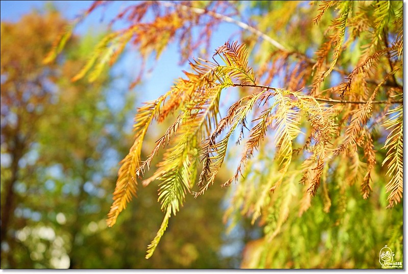 31423138173 74dc2b41af c - 『台中。后里』 泰安落羽松林秘境-泰安國小旁/泰安櫻花派出所/冬日限定的那一季松紅。