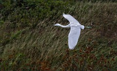 7052-   Little Blue Heron in Flight (canuckguyinadarkroom) Tags: birds cuba bif littleblueheron
