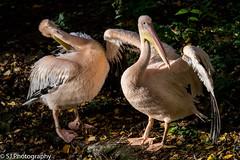 Edinburgh-3323 (S.J.Photography) Tags: outdoor animal bird aquaticbird edinburgh edinburghzoo pelican sjphotography