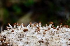 Kabja-keratiiniseen (Onygena equina). (Imbi Vahuri) Tags: imbivahuri fungi seened ascomycota kottseened onygenales keratiiniseenelaadsed onygena keratiiniseen