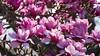 Sea of pink magnolia flowers (Tomas Sobek) Tags: abundance blossoming bold botanicalgarden buds bush dunedin flowers magnolia many multitude newzealand otago petals pink plant spring tree seaofpinkmagnoliaflowers