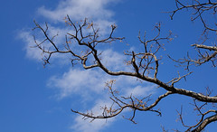 Dried tree under the blue sky at sunny day (phuong.sg@gmail.com) Tags: abstract agriculture autumn background bare bark blue branch clouds color dead death design die dry ecology environment forest gray grow landscape leafless life lifeless lonely natural nature old outdoor park plant season silhouette sky stem summer tall texture tree trunk weather winter wood wooden