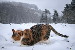 Monica Bellucci Exploring New Horizons ❄ (Xena*best friend*) Tags: monicabellucci mb monica cats whiskers feline katzen gatto gato chats furry fur pussycat feral tiger pets kittens kitty piedmontitaly piemonte canoneos760d italy wood woods wildanimals wild paws animals calico markings ©allrightsreserved purr digitalrebelt6s efs18135mm flickr outdoor animal pet winter snow cold frozen catsinthesnow catsrunninginthesnow catsplayinginthesnow catshavingfuninthesnow