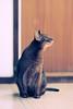 Happy new year everyone! (DizzieMizzieLizzie) Tags: film 35mm nikonf75 nikkor afs8518g fujicolorsuperia1600 abyssinian aby beautiful wonderful lizzie dizziemizzielizzie portrait cat chats feline gato gatto katt katze katzen kot meow mirrorless pisica nikon