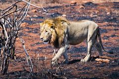 Male lion (mayekarulhas) Tags: krugerpark mpumalanga southafrica za lion carnivor wild life