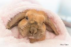 Cocooning rabbit (TonioSkipper) Tags: rabbit lapin animal bokeh portrait douceur canon70d photographieanimalière rose pink paix paisible peace calme quiet cute amour love cocooning sigma181835mm sérénité couverture
