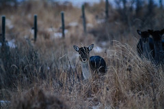 fallow deer - Löfte mer bilder på dovhjort och dovhind (Johan Fredlund) Tags: lofte fotosondag forest fotosöndag foto hammarfoto sweden scandinavia sverige animal animals canon canonpower canon7d deer fallow fallowdeer swe sigma sigma150600 150600sigma wildlfe wild wildlifes fs170122