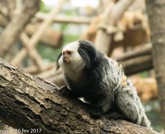 Festival ouistiti (nicotr) Tags: 20170216 ouistiti singe zoo