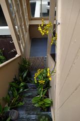 Cyrtochilum macranthum 2-1 species orchid (nolehace) Tags: winter nolehace fz1000 217 bloom plant flower cyrtochilum macranthum 21 species orchid sanfrancisco