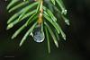 Tauwetter 1 (DianaFE) Tags: dianae winter nadelbaum wassertropfen regen dianafe