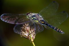 Sheer Wings - _TNY_9428 (Calle Söderberg) Tags: macro canon canon5dmkii canonef100mmf28usmmacro canoneos5dmarkii raynox dcr250 flash meike mk300 glassdiffusor insect odonata dragonfly trollslända ängstrollslända segeltrollslända svartängstrollslända libellulidae sympetrum danae darter meadowhawk blackdarter blackmeadowhawk wings transparent black hair hairy fur ngc npc f22 5d2