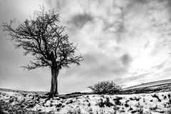 Resilience rɪˈzɪlɪəns (PJT.) Tags: hawthron pennines dufton fields snow sun clouds silhouette branches twigs bark knarled horizon path pennine way