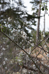 IMG_7858 (armadil) Tags: plum plumtree plumtrees flower flowers plumflowers
