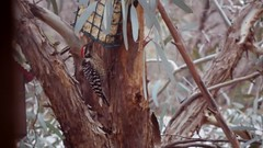 woodpecker in the eucalyptus tree (EllenJo) Tags: bird eucalyptus suetcake birdfeeder january22 2017 arizona verdevalley clarkdale ellenjo pentaxqwithpentaxklens pentaxklens digitalcameraandanaloglens 50mmlens pentaxqs1 az vintagepentaxklens
