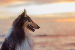 02/52 Leia & Attention (shila009) Tags: leia animal perro dog roughcollie tricolor sky sunset colours pink cute beautiful sea profile portrait love dusk nikkor