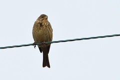 Corn Bunting. (stonefaction) Tags: birds nature wildlife scotland corn bunting auchmithie angus