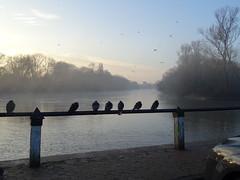 Row of Pigeons (andyaldridge) Tags: isleworth thames riverthames london mist river pigeon pigeons winter morning