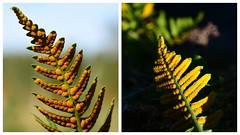 Polypody Common and Western (Joan's Pics 2012) Tags: polypody common western sori cluster spores anglesey ferns