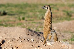 Suricate with Baby (fascinationwildlife) Tags: animal mammal cute suricat erdmännchen pup den wild wildlife nature natur national park transfrontier kalahari desert kgalagadi safari summer south africa südafrika meerkat