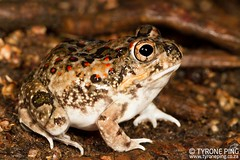 Tomopterna krugerensis (Tyrone Ping) Tags: hluhluwe kwazulunatal tomopterna krugerensis frog amphibians tyroneping wwwtyronepingcoza canon canon7d mt24ex macro field fieldherping close up 100mmmacrof28