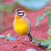 Golden-breasted Bunting (Emberiza flaviventris) ♀