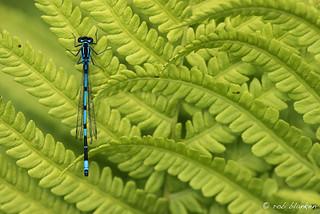 Variable Bluet (Coenagrion pulchellum, variabele waterjuffer)