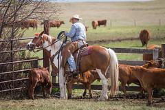 2015 Branding-88 (Kevin Schonhofer) Tags: ranch horse cow buffalo cattle alberta calf branding calves roping majesticranch
