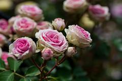 Rose Garden (Yatsu, Chiba, Japan) (t-mizo) Tags: flowers plants plant flower japan canon rosa chiba  canon5d  tamron rosegarden  lr lightroom tamron90mm  narashino   tamron90 tamron90mmf28macro tamron90mmf28 tamron90mmmacro yatsu tamron90mm28  tamronsp90 tamronspaf90mmf28dimacro11 tamronspaf90mmf28 tamronspaf90mmf28dimacro  tamronspaf90mmdimacro eos5d3  lr5 yatsurosegarden eos5dmarkiii 5d3 5dmark3 canon5d3 lightroom5 eos5dmark3 5dmarkiiii