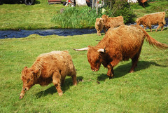 Laogh agus B (Mrtainn) Tags: scotland highlands alba escocia tele calf highlandcattle alban szkocja esccia vitel schottland kalb kalf westerross ternero tela schotland llo ecosse vitello highlandcow duirinish scozia kilo kalv skottland rossshire skotlanti veau skotland  vedell broskos vasikka vitelo leugh esccia skcia xatu albain leue iskoya  rawtherapee  gidhealtachd vitulus borj laogh taobhsiarrois siorramachdrois scoia vaccariello veriukas vdel zekor diirinis bus gamhain te lheiy vidl vidll bitellu jonec