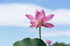 lotus flowers in the blue sky. (cate) Tags: bluesky lotusflower