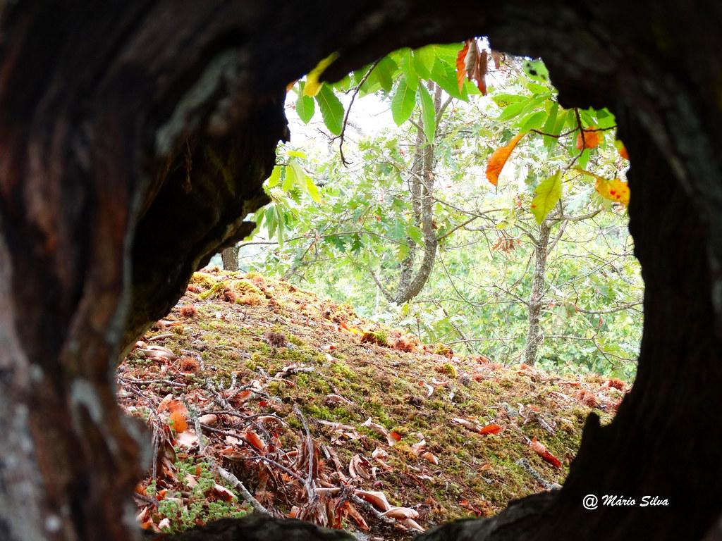Águas Frias (Chaves) - ... espreitando pelo buraco do tronco de um castanheiro ...