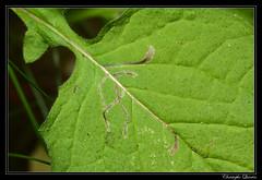 Mine de Liriomyza strigata sur Lapsana communis (cquintin) Tags: arthropoda communis lapsana diptera strigata agromyzidae liriomyza