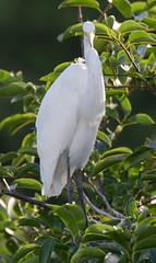06-23-15-9999_294.jpg (Lake Worth) Tags: bird nature birds animal animals canon wings florida wildlife feathers wetlands everglades waterbirds southflorida 2xextender sigma120300f28dgoshsmsports