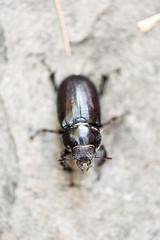 Beetle (MorboKat) Tags: detail macro bug insect beetle animalplanet stagbeetle coleoptera insecta lucanidae polyphaga scarabaeoidea scarabaeiformia