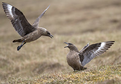 Great Skua. (Dave @ Catchlight Images) Tags: canon islands great sigma shetland unst skua