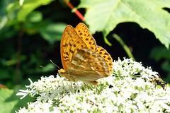 zwischen Urft und Nettersheim (mama knipst!) Tags: summer butterfly sommer natur eifel schmetterling