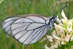 Aporia-crataegi_6 (amadej2008) Tags: white blackveinedwhite aporiacrataegi aporia belinke taxonomy:binomial=aporiacrataegi baumweisling belinka glogovabelinka