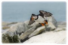 IMG_1234 (joe.gliozzo) Tags: usa bird wildlife maine puffin cutler birdinflight machias machiassealisland aquaticbird atlaanticpuffin
