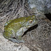 1507 Sonoran Desert Toad