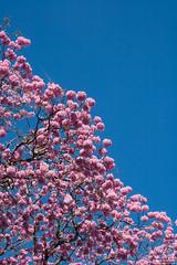 Ipê Rosa (angela.macario) Tags: brazil azul brasil shopping florida natureza rosa céu ipê árvore ipe águas goiânia passeio goiás florido ângela macário