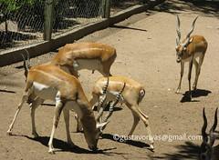 Gacela de Thomson 03 (grivas2k) Tags: animal mammal gazelle gacela mamifero thomsons gaceladethomson