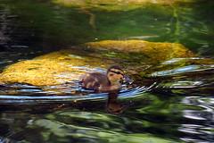 P7210155B (The Real Maverick) Tags: toronto ontario canada nature highpark outdoor duckling olympus torontoparks