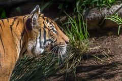 Bright-eyed Tiger (helenehoffman) Tags: animal cat mammal wildlife tiger malayan bigcat endangered sandiegozoo carnivore pantheratigrisjacksoni